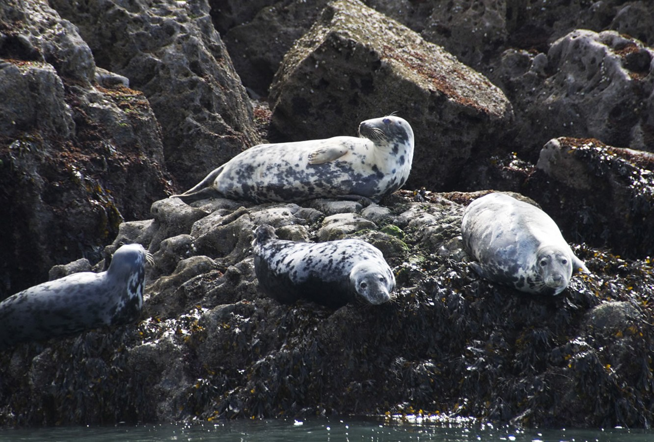 Seals resting on the rocks at Worms Head